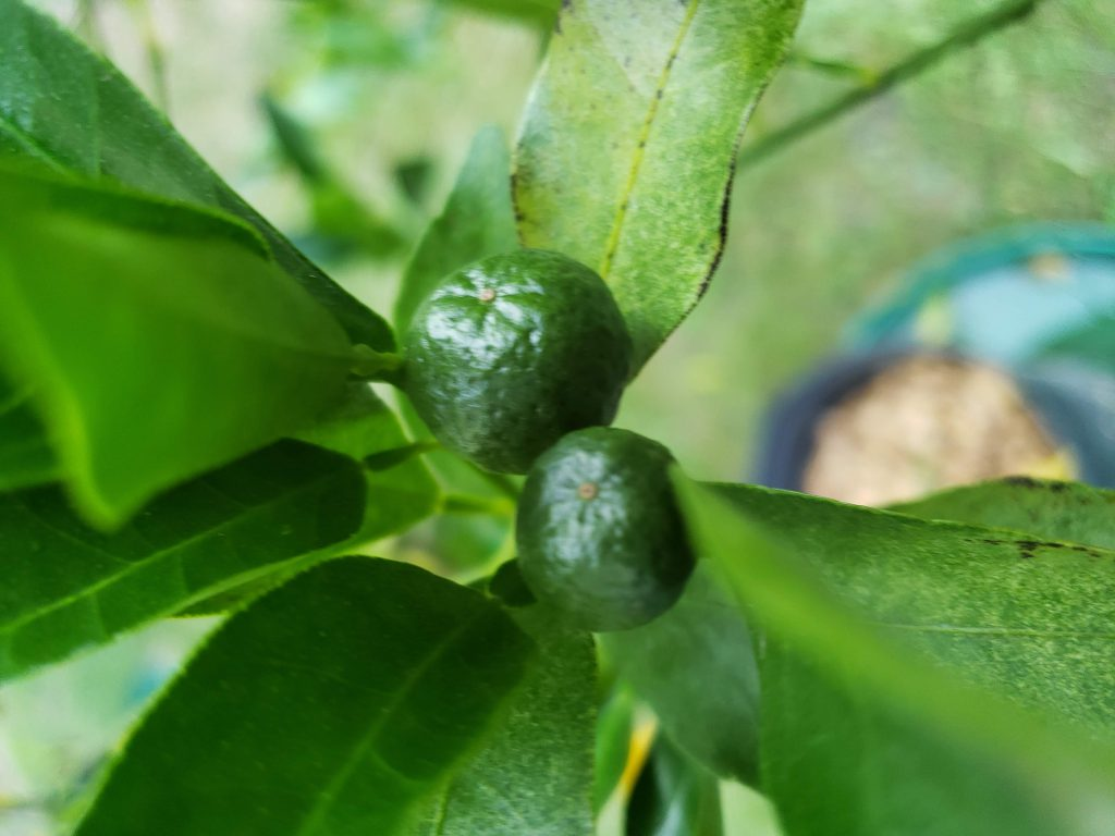 a pair of ponkan tangerine fruit in mid august 2018