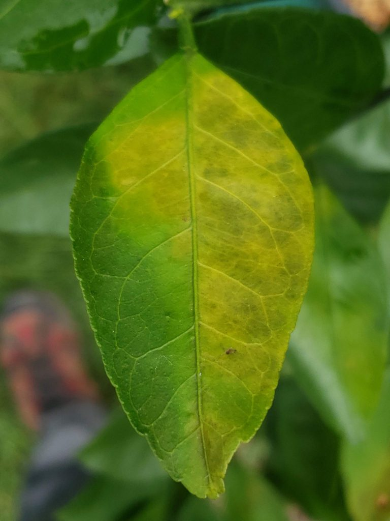 topside of citrus leaf with greasy spot